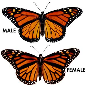 Image result for male monarch butterfly compared to a female