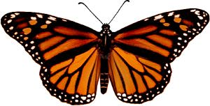 Female Monarch image