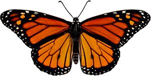 Male Monarch image