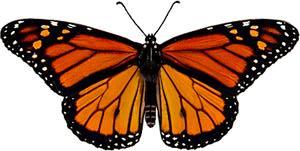 monarch watch biology sexing monarchs